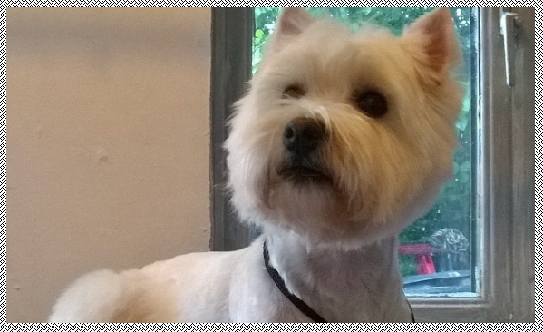 westie groomer near conningsby