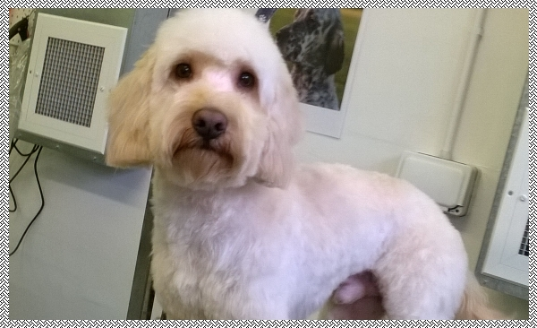 Cockerpoo groomer in lincolnshire